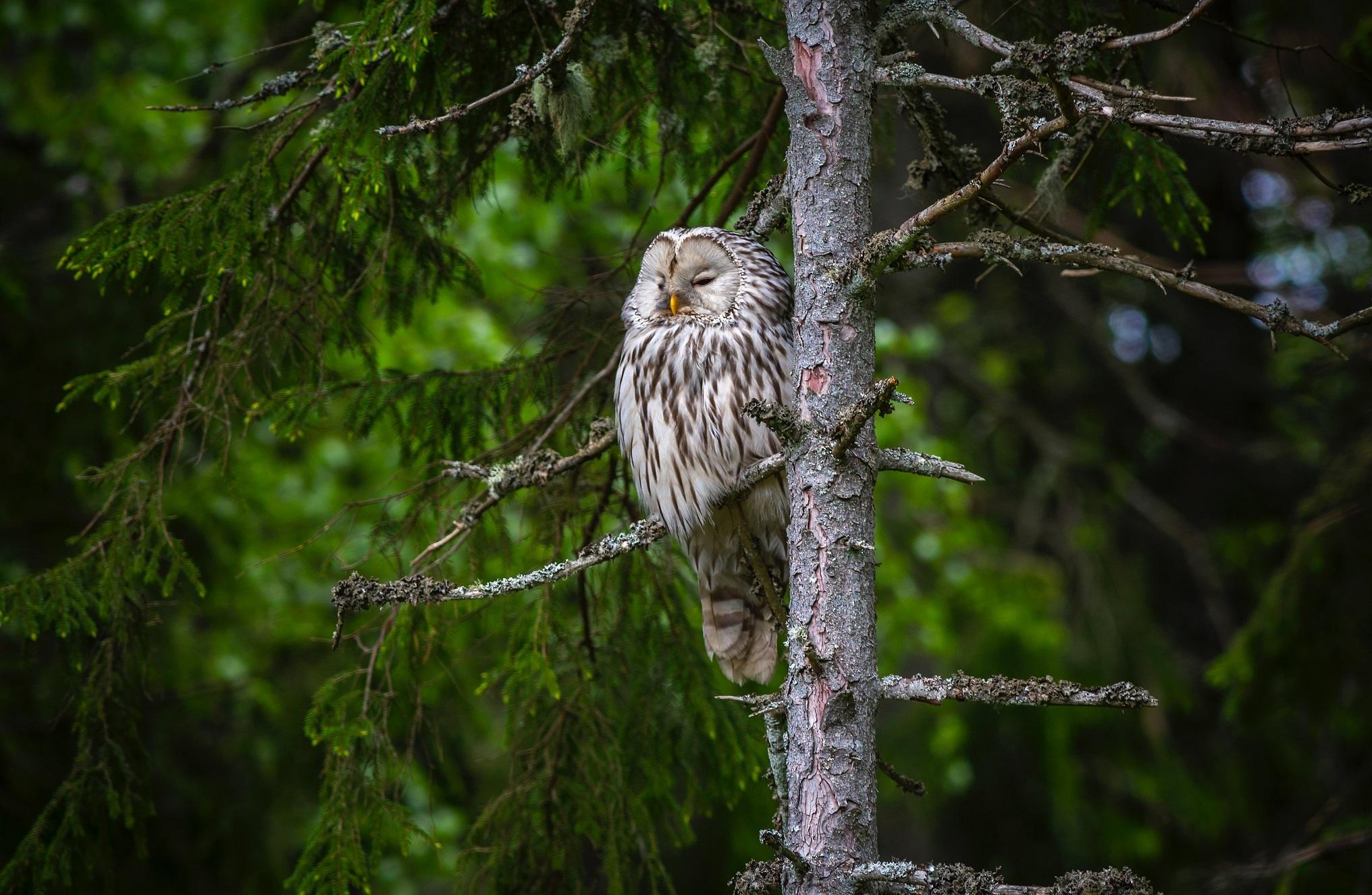 Jagt i Alaska med ugle