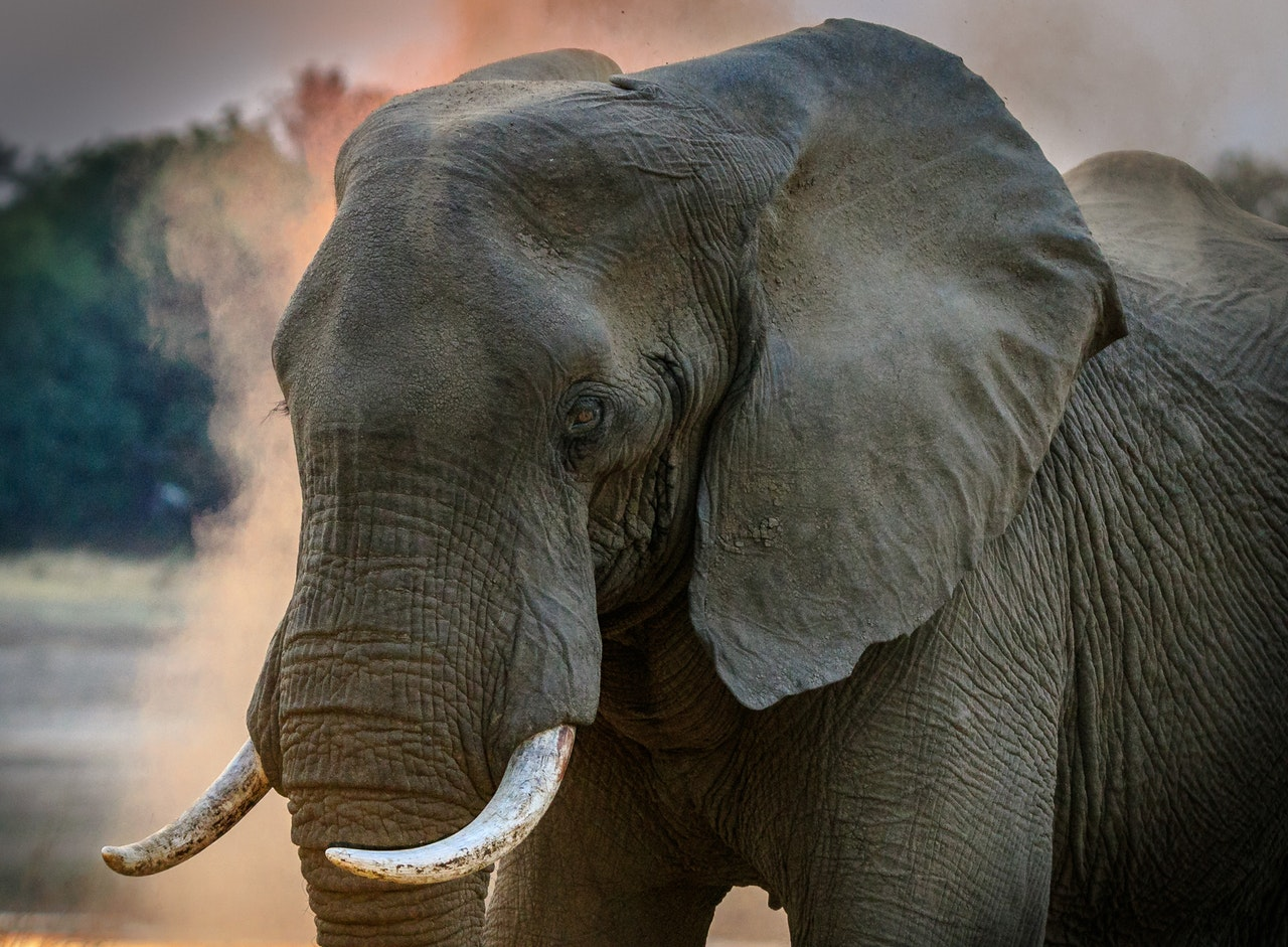 Jagt i Sydafrika med elefant