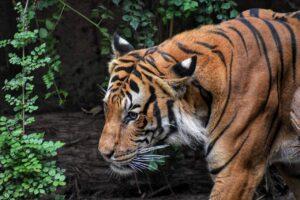 Jagt i Tanzania mod en tiger